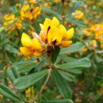 Pultenaea daphnoides closeup of flower, image Dan Clarke