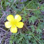 Ranunculus meristus