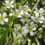 Sannantha crassa flowers