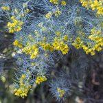 Senna artemisoides, Silver cassia, image Heather Miles