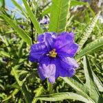 Solanum aviculare flower