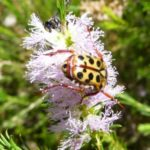 Spotted Flower Chafer, image Warren and Gloria Sheather