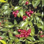 Syzygium australe (fruit), image Alan Fairley