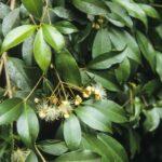 Syzygium oleosum (flower), image Alan Fairley