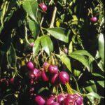 Syzygium paniculatum (fruit), image Alan Fairley