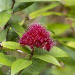 Syzygium wilsonii, image Heather Miles