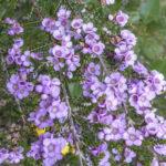 Thryptomene baeckeace flowers