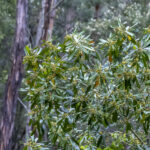 Tristaniopsis laurina in the wild, image Heather Miles