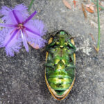 Upside down beetle and Thysanotus by Ralph Cartwright