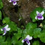 Viola hederaceae, image Kevin Stokes