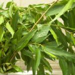 Waterhousea floribunda, image Heather Miles