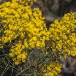 Acacia meiantha, image Alan Fairley