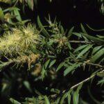 Callistemon shiressii, image Alan Fairley