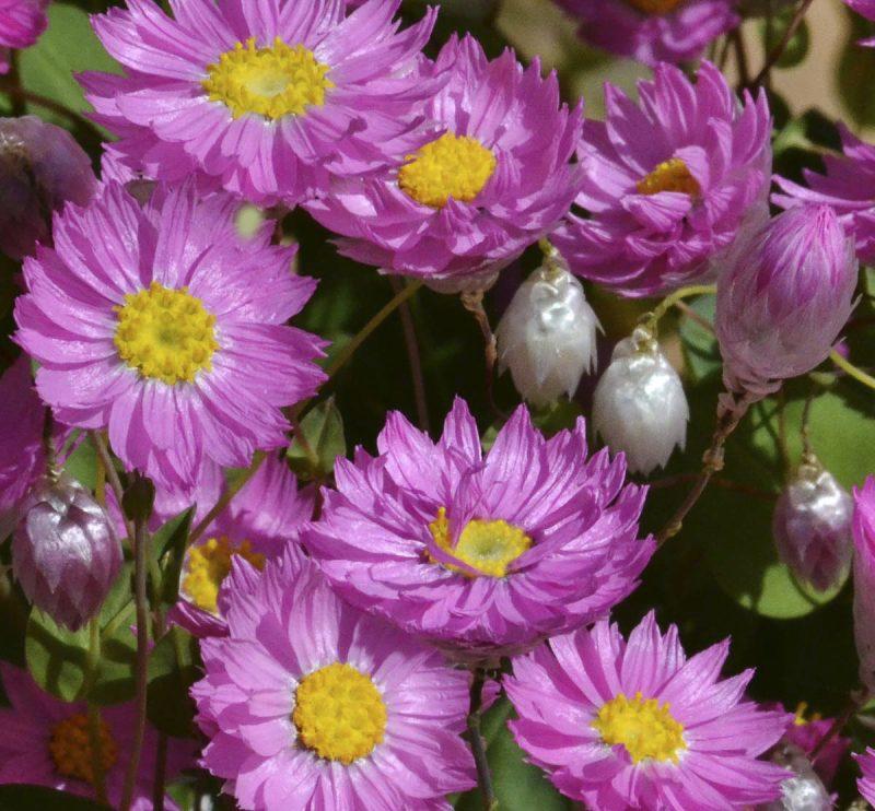 Rhodanthe manglesii (Pink Sunray)