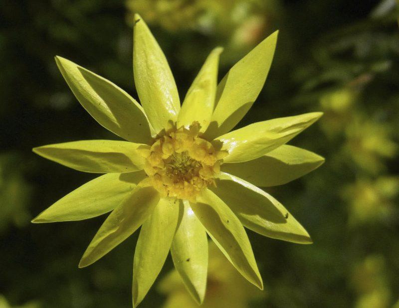 Schoenia filifolia