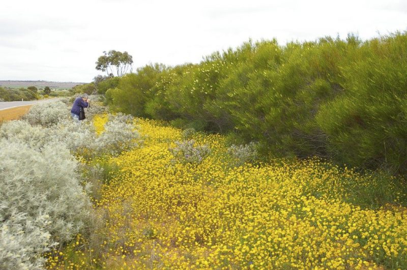 Myriocephalus oldfieldii (the bright yellow) near Merredin