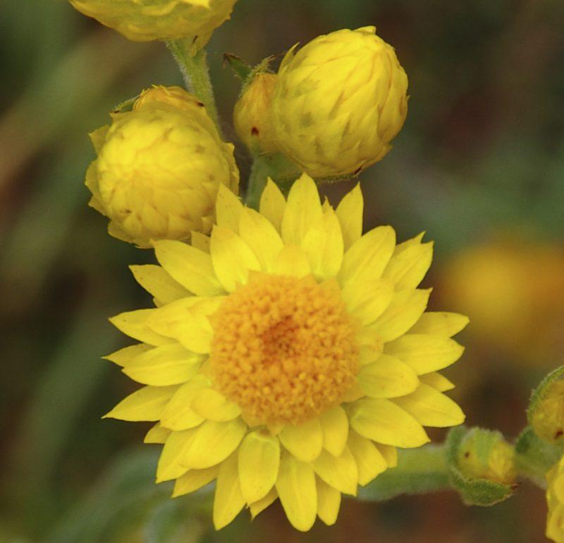 Waitzia acuminata_