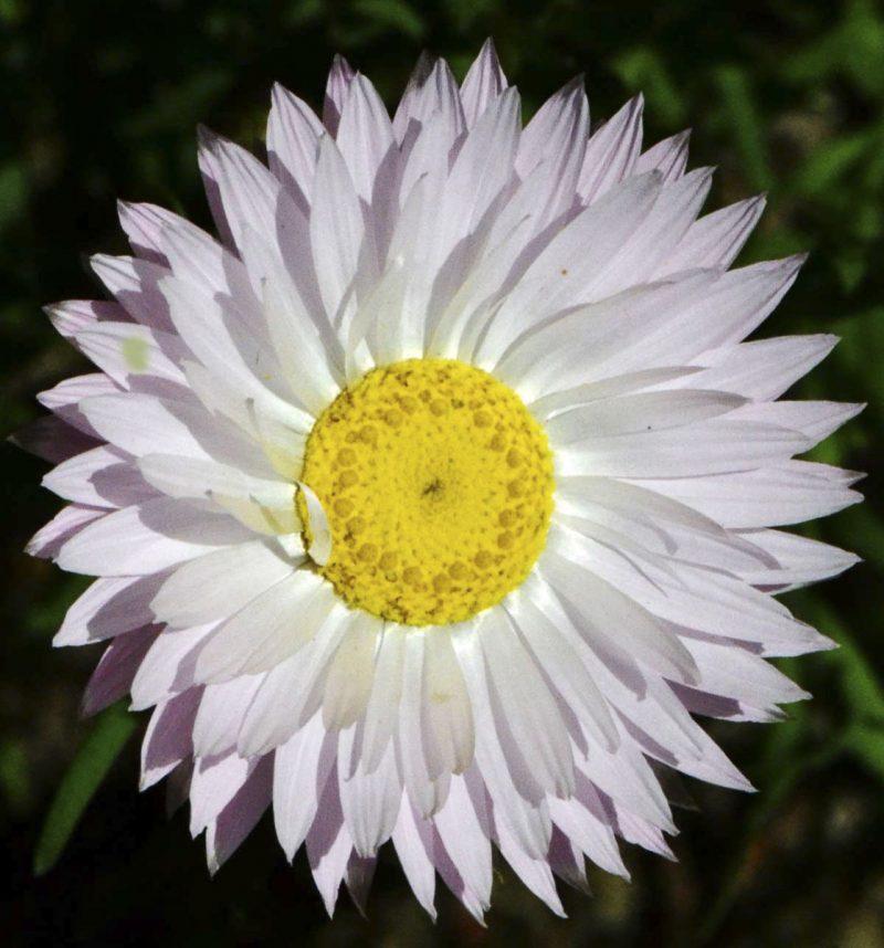 Rhodanthe chlorocephala subspecies rosea.