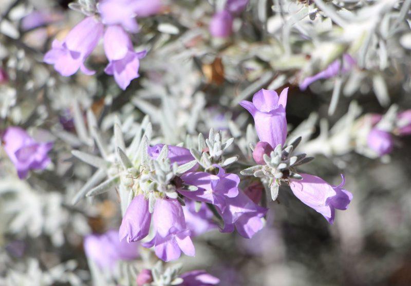 Eremophila 'Beryl's Blue' flower, image Ben Walcott