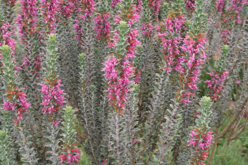 Eremophila calohrabdos flowers in Nuriootpa,South Australia, image Ben Walcott