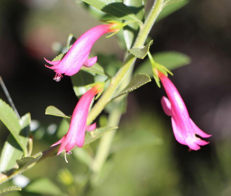 Eremophila calorhabdos x denticulata, image Ben Walcott