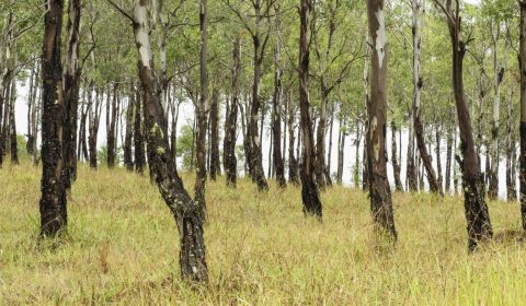 Forest of eucalypts, image H Miles